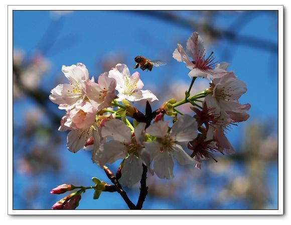 元天宮櫻花-蜜蜂06.jpg