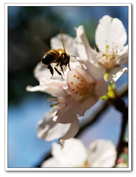 元天宮櫻花-蜜蜂07.jpg