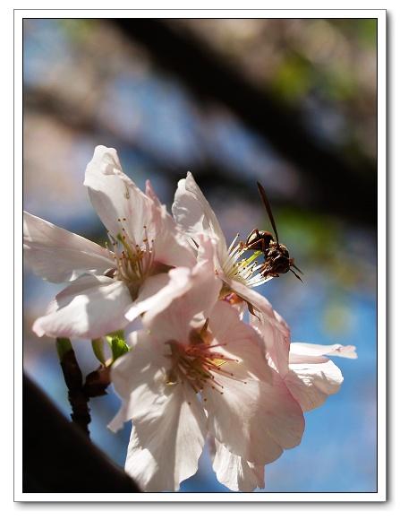 元天宮櫻花-蜜蜂08.jpg