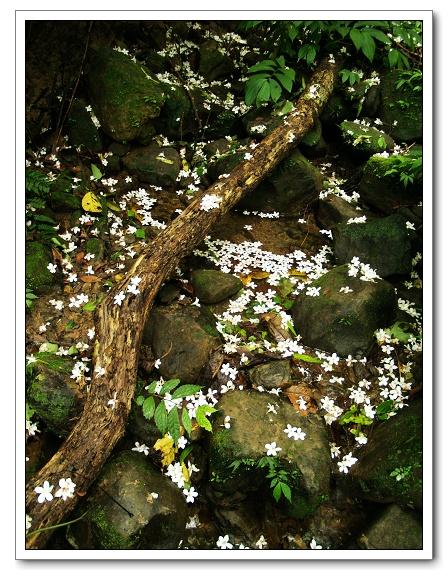 土城桐花-10.jpg