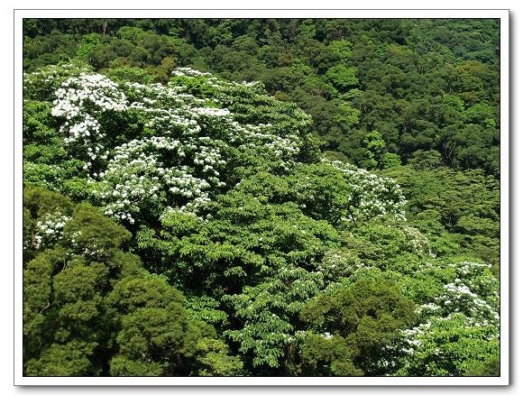 20100503土城桐花-21.jpg