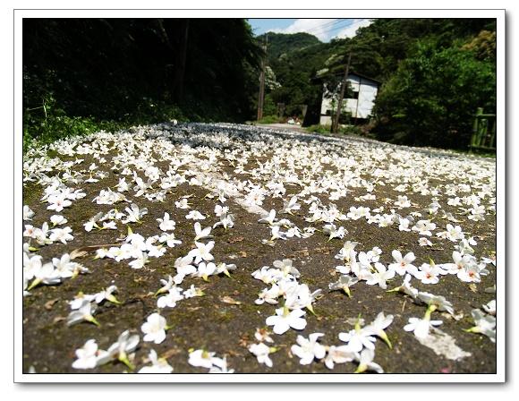 20100503土城桐花-41.jpg