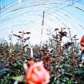 你想當溫室裡的玫瑰嗎?