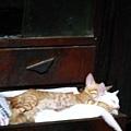 原來貓也是可以這樣睡
