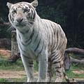 你有看過白虎嗎