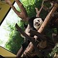 就先來看著大熊貓躺在這裡