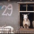 窗上的小羊 很搶鏡