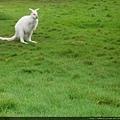 是白袋鼠兒