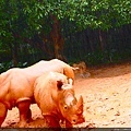 可愛的犀牛在泥濘中打滾