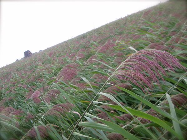 這裡的葦田一望無際 是全世界最大的喔
