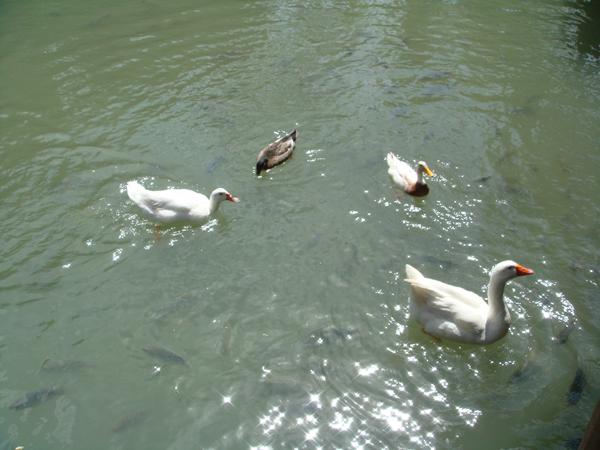 鴨子們  你們真悠閒