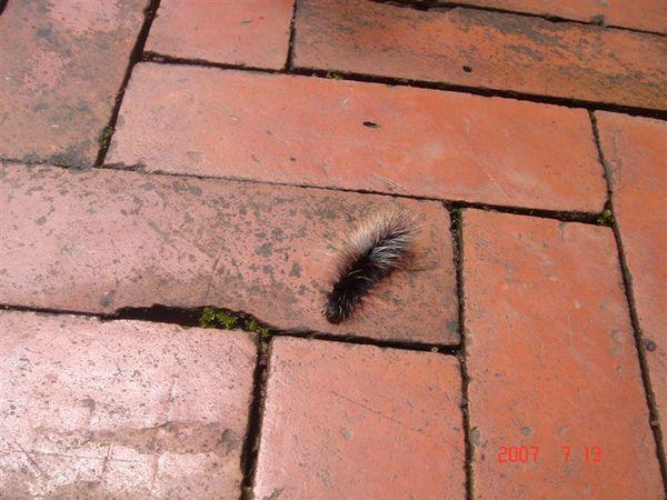 隨處可見的毛毛蟲