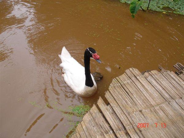 黑白天鵝?!