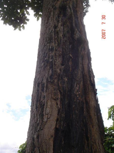 只有一半的樹幹
