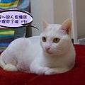 貴氣貓傑利克2