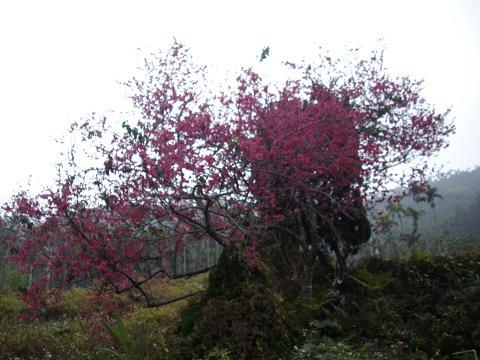 櫻花樹200902