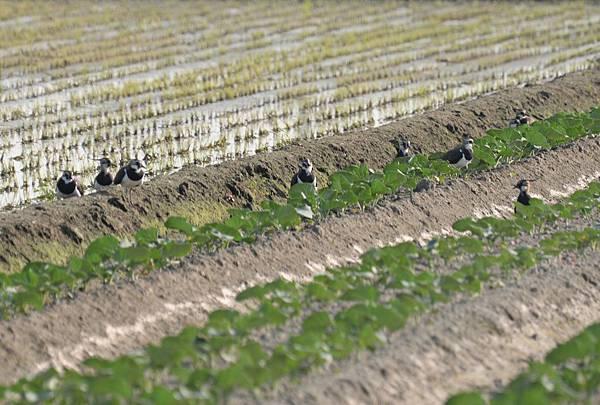 小群的土豆鳥