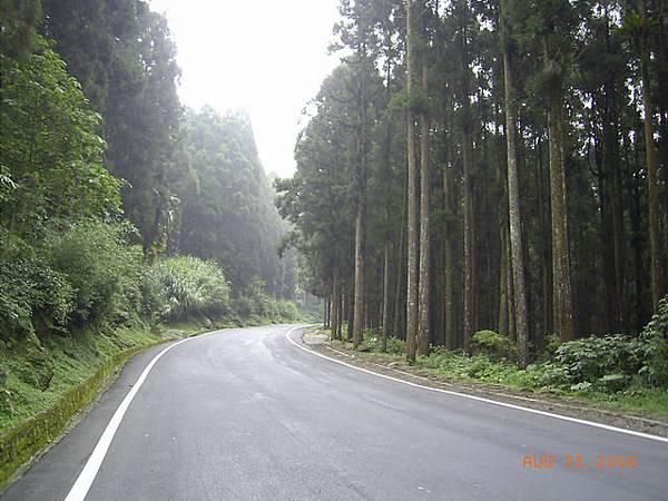 道路在筆直的檜木林裡穿梭