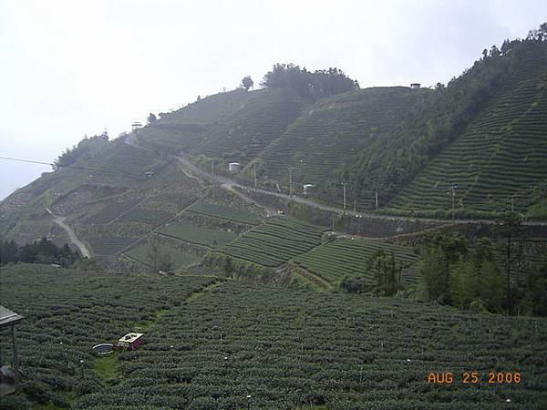 滿山的茶園