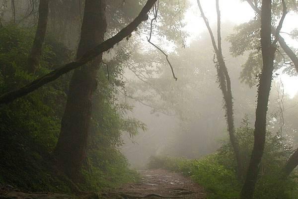 觀霧神木群