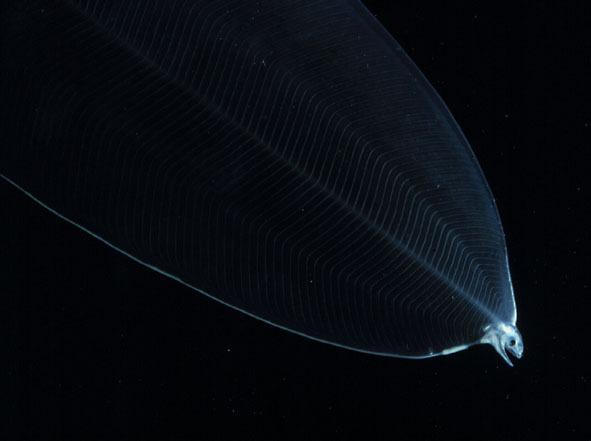 2006 DeepSea_06 Giant Leptocephalus larva (20cm long, 8 cm wide).jpg