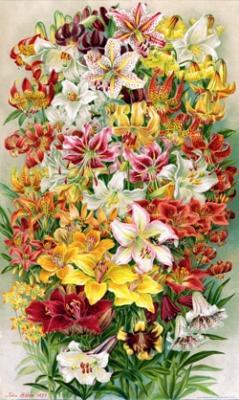 Lilies - $95