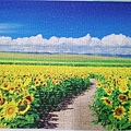 2018.06.29 500pcs Sunflower Field & Blue Sky  (1).jpg