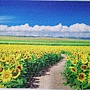 2018.06.29 500pcs Sunflower Field & Blue Sky (1).jpg
