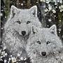 2021.07.12 300pcs Wolves 白狼圖 (1).jpg