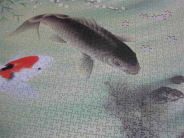 2010.08.03 1000片鯉魚 (4).JPG
