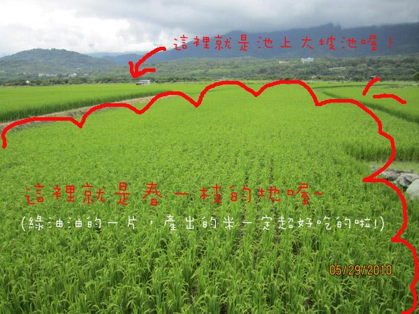 rice-taitung-1.jpg