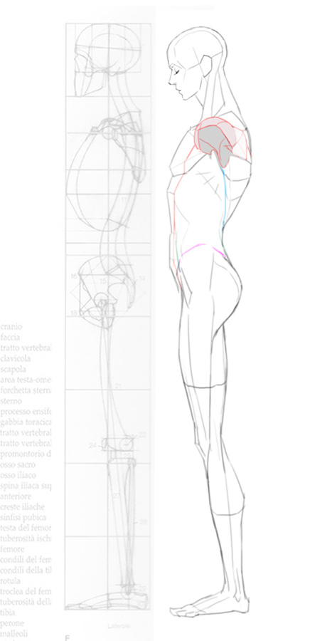 2016-04-24 lat anatomy 002