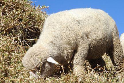 小羊again