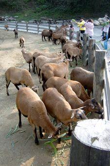 西伯利亞羊之類的