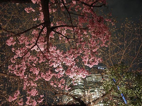 毛利庭園的夜櫻與森大樓