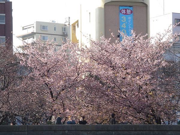 隅田川旁的櫻花