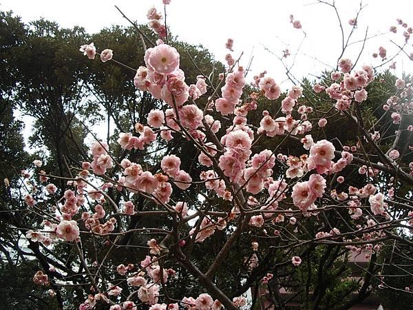 一坨一坨的櫻花