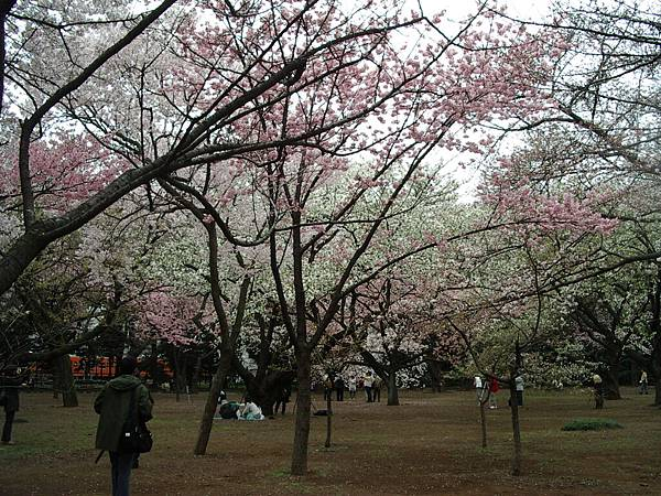 有的雖然還沒滿開 但是也有已經長出櫻葉的了...