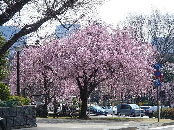 ichi最愛的枝垂櫻
