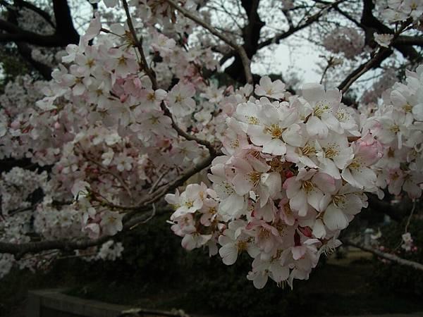 吉野櫻的邊邊才是粉紅色的啊......