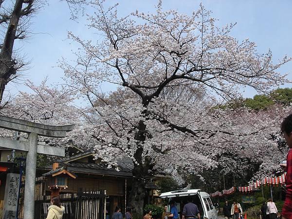 花園神社外的櫻花