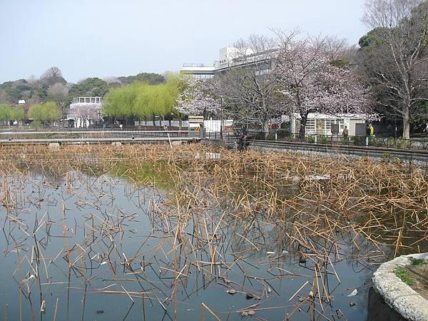 春天的不忍池