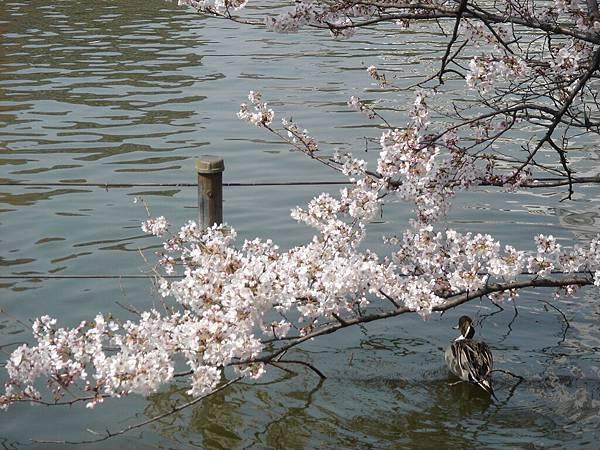 不忍池旁的櫻花