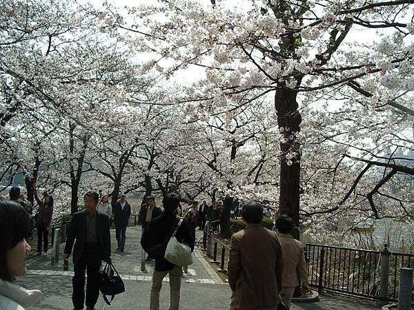 這裡也有櫻花