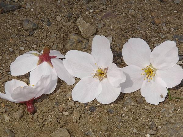 掉在地上的櫻花