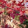 雖然已經掉了很多  不過還是有紅紅的葉子給我們看