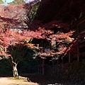 金堂旁邊的楓樹
