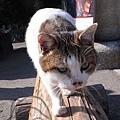北野天滿宮鳥居下的可愛貓咪