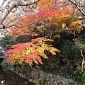 漸層的楓葉