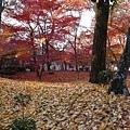 前面黃色落葉是銀杏